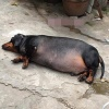 Chú chó béo ú rõ ràng là