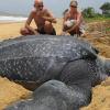 Bất ngờ tìm thấy rùa khổng lồ nặng hơn 700kg tại Tây Ban Nha