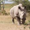 Sự thật đau lòng: Chú tê giác trắng cuối cùng trên thế giới đã qua đời