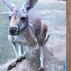 Để ép kangaroo nhảy, du khách ném đá vào con vật đến chết thảm làm dân mạng phẫn nộ
