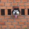 Con sen khóc ròng vì phải đập tường giải cứu