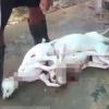 Xót xa cảnh những chú chó bị nhốt trong lồng, run rẩy nhìn đồng loại của mình bị đánh đập, giết chết
