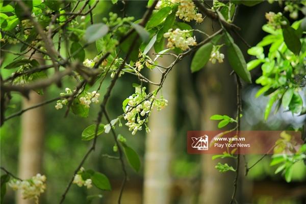 Những người bán hoa bưởi rong phải tìm đến vùng thuộc ngoài thành Hà Nội, hay những tỉnh lân cận như Hưng Yên, Bắc Ninh... thu gom hoa bưởi để mang ra Hà Nội bán.