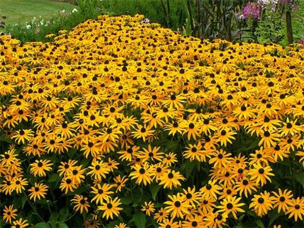Nhờ màu sắc tươi vui, hoa cúc mắt đen được trồng rất nhiều ở Mỹ.