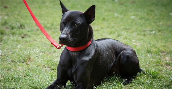 Chó Phú Quốc nổi tiếng ở châu Âu.