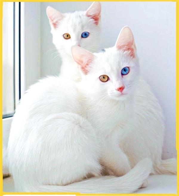 Những chú mèo Khao Manee sở hữu vẻ ngoài kiêu kì, xinh đẹp trước đây chỉ sống trong gia đình hoàng tộc và được xem như biểu tượng may mắn, trường thọ và khỏe mạnh. Sở hữu được một chúKhao Manee là niềm ao ước của nhiều người song giá lại rấtđắt, từ 7.000 – 11.000 USD (khoảng 161 - 254 triệu đồng).