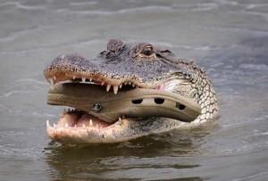 """Cá sấu cũng chuộng """"mốt"""" dép cá sấu (crocs)?"""