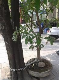 Đến cả việc chưng cây kiểng cũng còn sợ trộm nên phải xích nguyên chậu vào gốc cây cho an toàn.