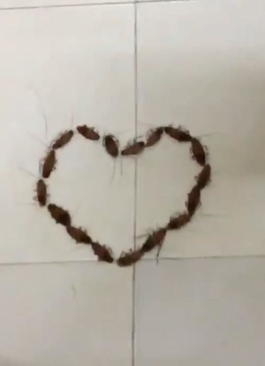 """Trái tim với hàng chục con gián được xếp ngay ngắn trông thật """"ấn tượng""""!"""