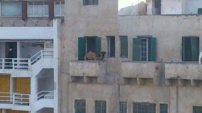 Lại thêm một bé lạc đà đi nhầm địa chỉ nữa rồi, nhưng lần này có vẻ là hơi cao rồi.