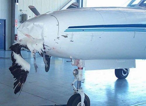 Rất nhiều vụ tai nạn hàng không thươngtâm xảy ra chỉ vì đâm phải chim