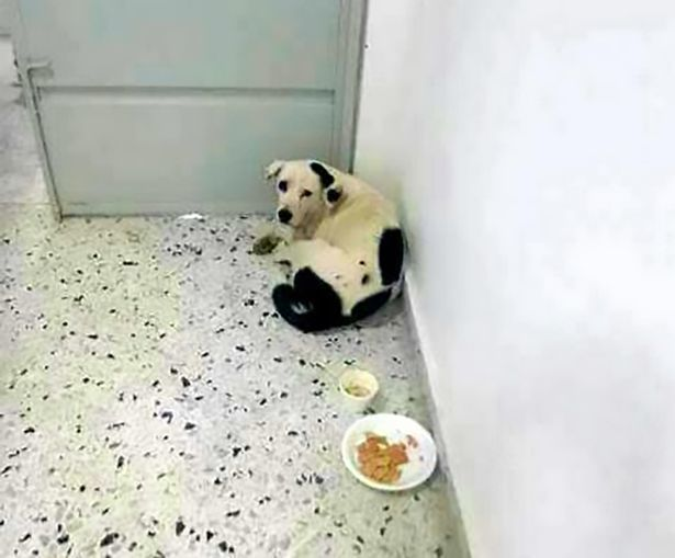 Thương quá, chú chó bị chủ nhân bỏ rơi nhiều tháng trời, không chịu ăn uống, trầm cảm mà chết