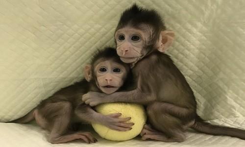 Trung Trung và Hoa Hoa là cặp linh trưởng đầu tiên ra đời nhờ phương pháp chuyển DNA, giống trường hợp chú cừu vô tính Dolly năm 1997.