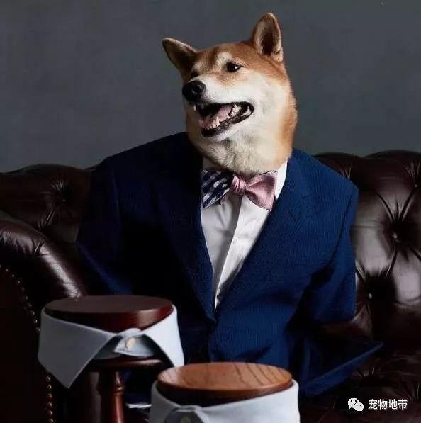 Chú chó Shiba có thu nhập khủng hơn 300 triệu mỗi tháng, là gương mặt đại diện cho nhiều hãng lớn