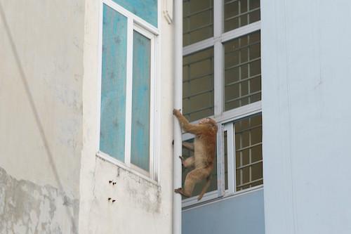 Chú khỉ hoang di chuyển giữa các khu nhà ở để tìm kiếm thức ăn. Ảnh: Mạnh Cường.