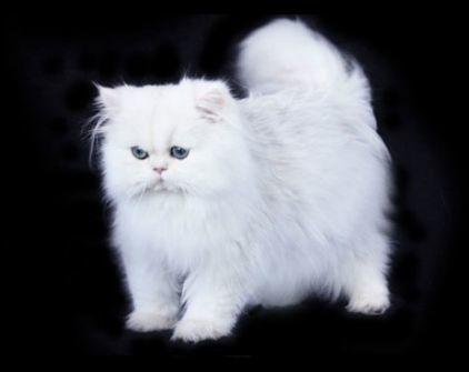 Nếu đầu thai thành mèo, kiếp sau của 12 cung hoàng đạo sẽ là loài mèo sang chảnh nào?