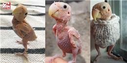 Xót xa chú chim rụng hết lông phải mặc