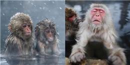 Sở thú Nhật Bản gây tranh cãi vì tiêu hủy một loạt 57 chú khỉ tuyết
