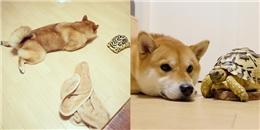 Sống cùng nhà, chú chó Shiba đáng yêu nghĩ mình cũng là rùa giống bạn