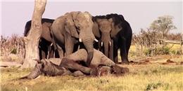 Cay mắt vì những chú voi bần thần đứng lặng đưa tang bạn mình