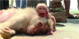 Xót thương với cảnh khỉ con đau đớn ôm xác mẹ bị xe đâm