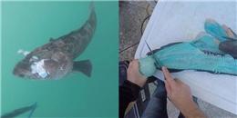 Bất ngờ phát hiện 'cá thịt xanh', giống cá hiếm trong lòng đại dương?