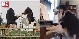 Lại xuất hiện thêm một con siêu chó giỏi đủ thứ trên đời