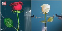 """Đã tạo ra được loài """"hoa hồng phát sáng"""" kỳ diệu"""