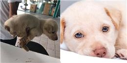 Cún con Golden đáng thương bị chặt cụt đuôi và vứt ngoài đường