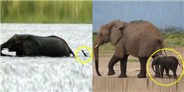 Những chú voi con ngộ nghĩnh đáng yêu nhất thế giới