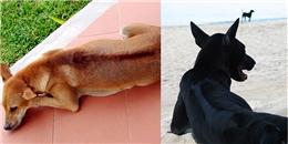 Việt Nam đang sở hữu loài chó đắt & thông minh nhất nhì thế giới