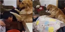 Chăm sóc ông chủ chu đáo hơn cả bà chủ, chỉ có thể 'yêu tinh chó' này