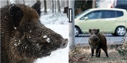 Sợ hãi cảnh lợn rừng nhiễm phóng xạ đe dọa người dân Nhật Bản