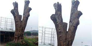Cận cảnh  cây gỗ khô  được các đại gia ngã giá đến 22 tỉ