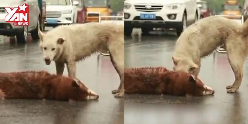 Bạn thân bị tai nạn, hành động của chú chó làm mọi người bật khóc