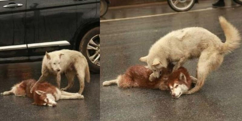 Rơi nước mắt cảnh chú chó ra sức lay bạn tỉnh dậy sau tai nạn