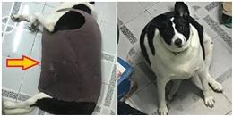 Chú chó ở Sài Gòn 'ăn cả thế giới' để rồi 'mập lù' như heo