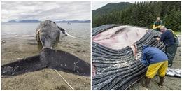 Xẻ thịt cá voi dạt vào bờ, các nhà khoa học suýt