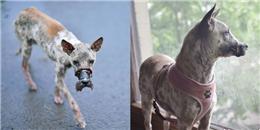 Chú chó từng bị buộc mõm đến hoại tử giờ đã 'xuất ngoại' sang Đức