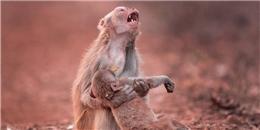 Cái kết bất ngờ đằng sau bức ảnh khỉ mẹ ôm xác con gào khóc