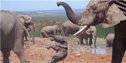 Làm vướng chân voi đực giao phối, voi con bị quăng quật suýt chết