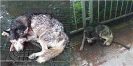 Nhói lòng chú chó husky bị móc 2 mắt đơn độc dưới trời mưa lạnh