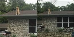 Chú chó thích sống trên nóc nhà, chỉ chịu xuống khi bị dụ ăn dụ chơi