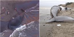 Cá voi xanh khổng lồ trôi dạt vào bờ biển do bị tàu đâm chết