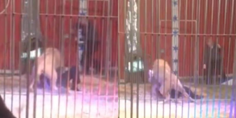 Sư tử cắp cổ kéo lê người huấn luyện trong một màn diễn xiếc