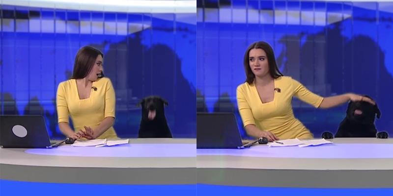 Chú chó thản nhiên xông vào trường quay lúc đang truyền hình trực tiếp