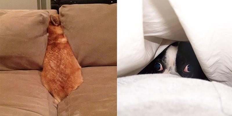 Mỏi mắt tìm kiếm những chú chó có biệt tài ẩn thân siêu hạng