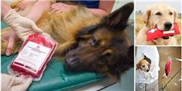 Ngạc nhiên chưa, cún cưng cũng có thể... hiến máu!