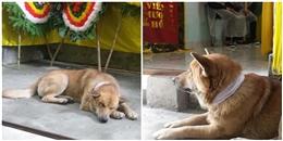 Rơi nước mắt chú chó buồn bã nằm một chỗ trong lễ tang chủ nhân