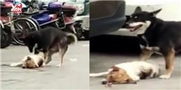 Thêm một trường hợp chú chó đau thương bên xác người bạn xấu số